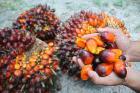 Palmöl zum Kochen, Biodiesel und andere Zwecke